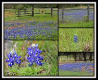 Texas Bluebonnet Collage