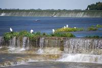Egrets Below Dam
