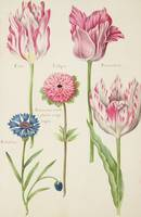 Three 'Broken' Tulips, Cornflower and Anemone