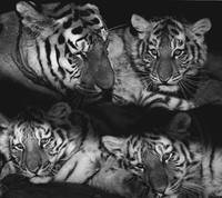 Relaxed Tiger Family