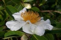White Cloud Tea Camellia