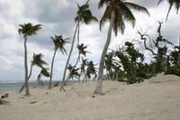 Trees after Hurricane - Grand Cayman