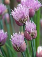 Chives at Their Best