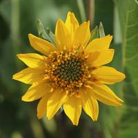 Carey's Balsamroot Closeup