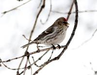 Common Redpolls