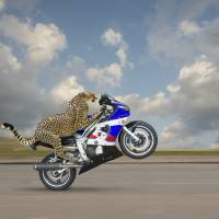 """Cheetah-On-A-Motorcycle"" by johnlund"