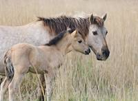Konik horse mother and foal