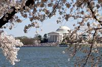 Jefferson Memorial framed by Cherry Blossoms