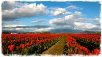 Red Tulips of Skagit Valley
