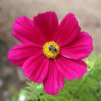 Bee on Pink Cosmos best by Carol Groenen