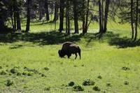 Grazing Buffalo by Carol Groenen