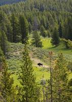 Lone Buffalo by Carol Groenen
