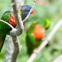 Rainbow Lorikeet parrot Trichoglossus haematodus by Alexandr Grichenko