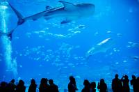 whale sharks swimming in aquarium with people obse
