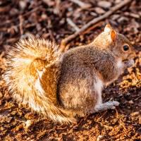 squirrel eating crunchy pinecorn on ground by Alexandr Grichenko