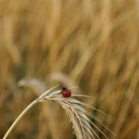 Ladybug on a spike in a wheat field
