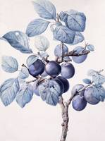 The Branch of a Plum-Tree Bearing Fruit with a Was