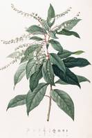 Clethra Arborea (Lily of the Valley Tree)