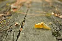 Yellow fallen leaf