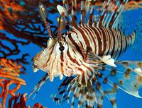 Pterois Inverted Flying