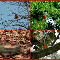 4 season cardinal Art Prints & Posters by C-Squared Art & Studio -- Art by Carol Cook