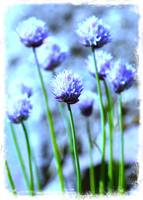 Focus on One Chive with Border by Carol Groenen
