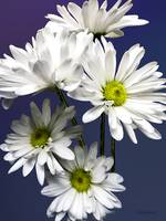 Cascade of White Daisies