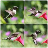 Hummingbird Collage by Carol Groenen