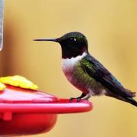 Hummingbird by Lisa Rich
