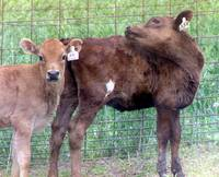 Two Little Heifers