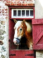 Palomino by Barn Door
