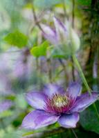 Clematis - single purple with texture oil paint