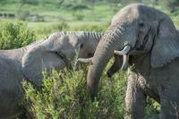 Elephants Greet One Another, Ndutu, Africa