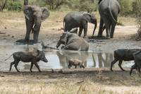 Elephants and Wart Hogs at Mud Hole