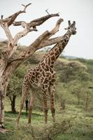 Giraffe and Branches, Tanzania