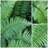 Fern Collage