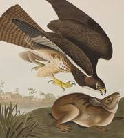 Illustration from 'Birds of America'