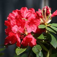 Ruby Red Rhododendron by Carol Groenen