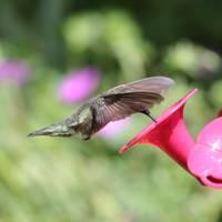 Hummingbird Dip by Carol Groenen