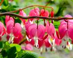 Bleeding Heart Flowers by Kristen Fox