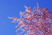 Tree Blossoms Art Prints Spring Pink Flowers Blue