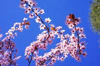 Pink Tree Blossoms Art Prints Blue Sky Floral