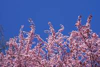 Blue Sky Art Prints Pink Spring Tree Blossoms