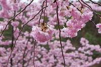 Tree Blossoms Hanging Spring Pink Flowers Prints