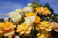 Roses Garden Bouquet Yellow Orange Rose Flowers Ar