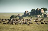 Wildebeest Herd and Kopjes