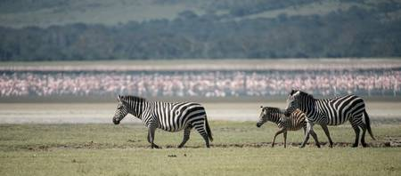 Zebras and Flock of Flamingos, Ngorongoro Crater