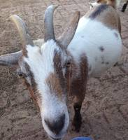Goat with Character
