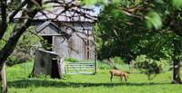Miniature Horse& Barn