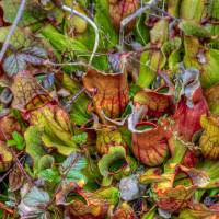 Northern Pitcher Plants Bursting with Color Art Prints & Posters by Stephen Durrenberger